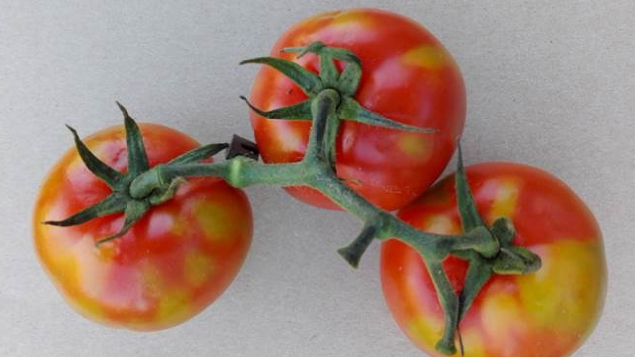 New EU measures to mitigate spread of tomato brown rugose