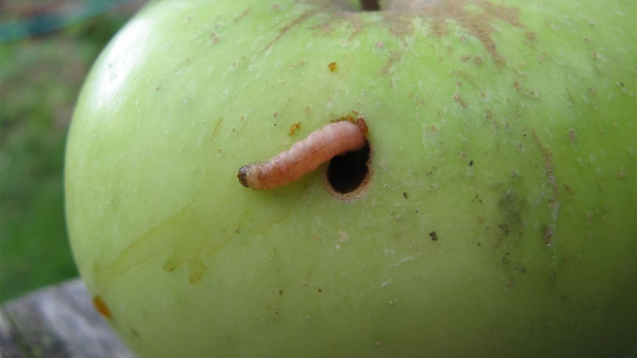 Database on apple fruit pests of the EU to support pest risk assessments